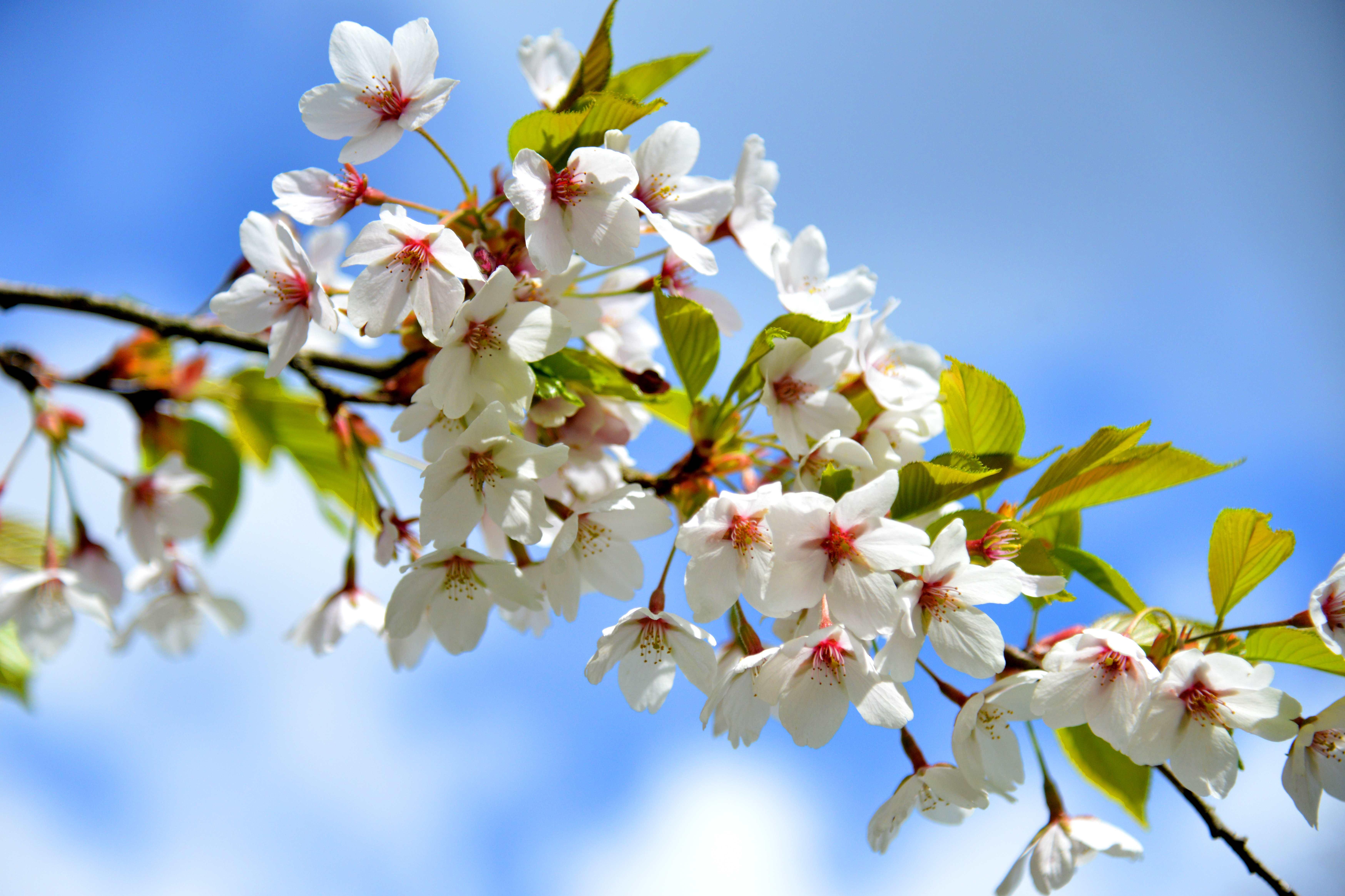 XX sm Cherry Blossom ZBU_2058 - kopie